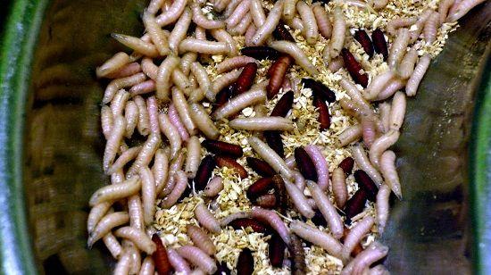 Личинки и куколки мухи