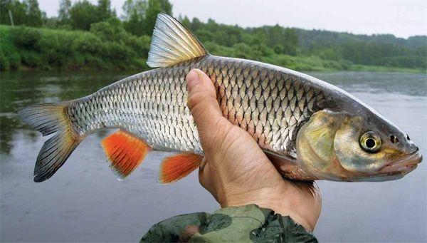 Голавль в руке рыболова