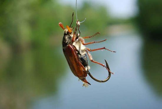 наживка жук-кузька