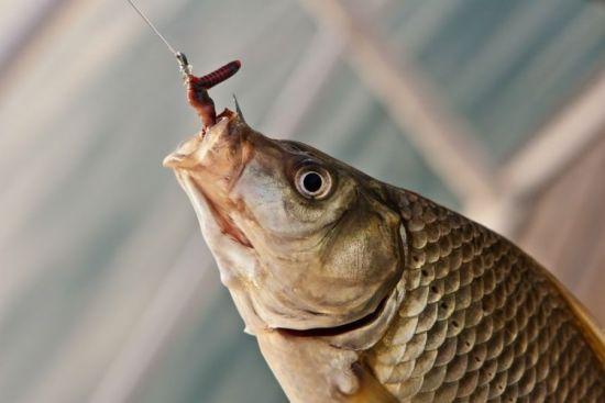 трофей на червя