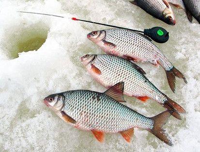 улов плотвы зимой