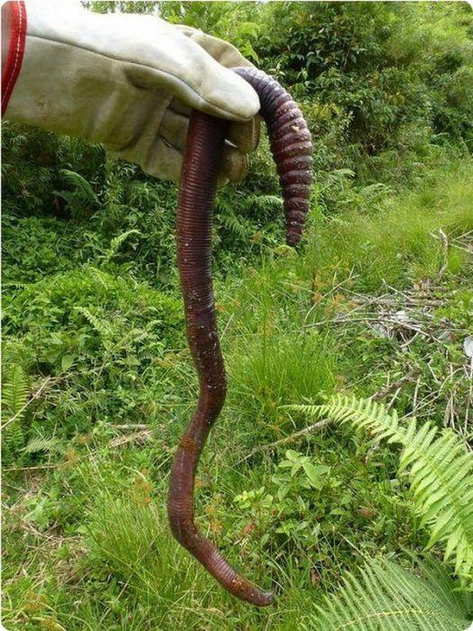 тинный червь