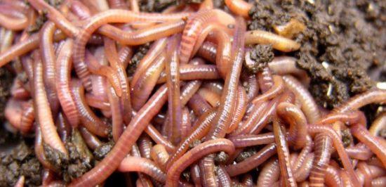 Красноватый червь