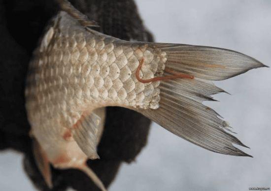 Черви, обитающие на чешуе рыбы