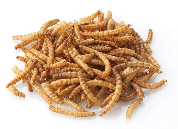 Мучные черви