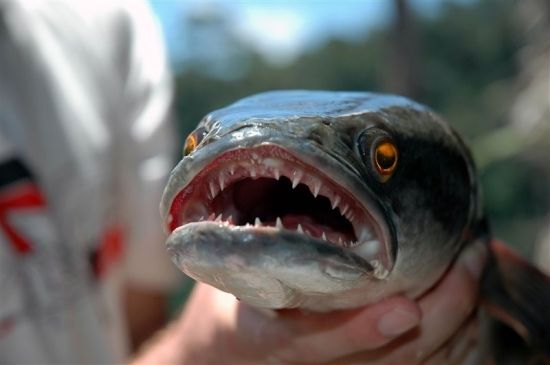 Взрослая змееголовая рыба
