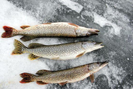 улов по последнему льду