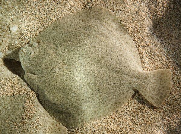 Донная рыба