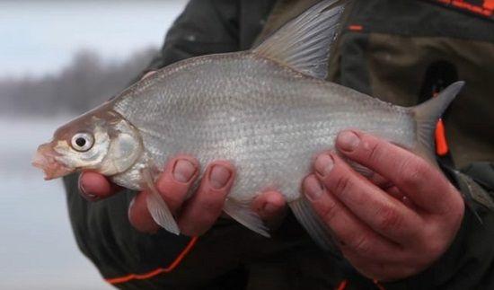 Подлещик в руках рыболова