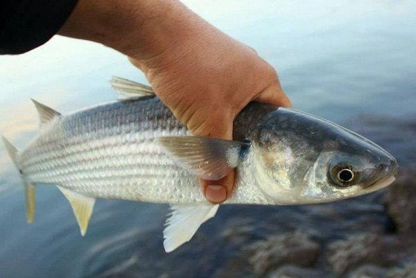 Кефаль в руке рыбака