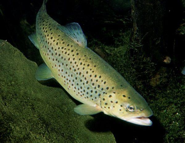 Кумжа под водой
