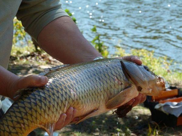 Сазан в руках рыбака