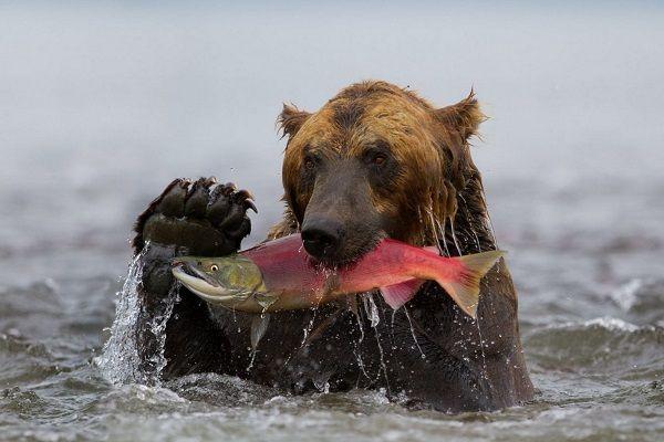 Медведь с неркой