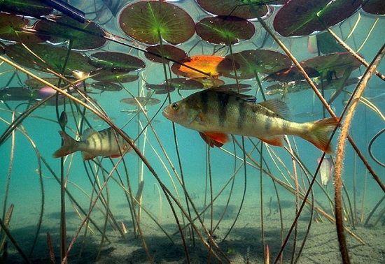 Окунь под поверхностью воды