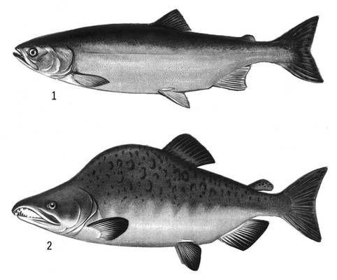 Самка(вверху)  и самец горбуши