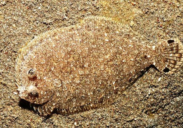 Камбала на песчаном дне