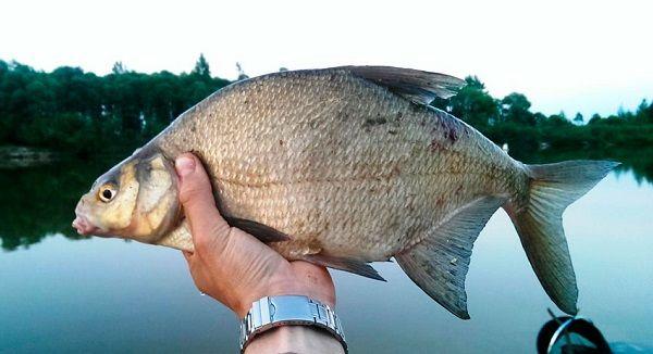 Лещ в руке рыболова