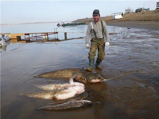 Рыболов с уловом сомов