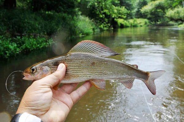 Хариус в руке рыболова