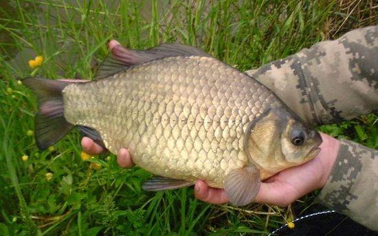 Карась в руках рыболова