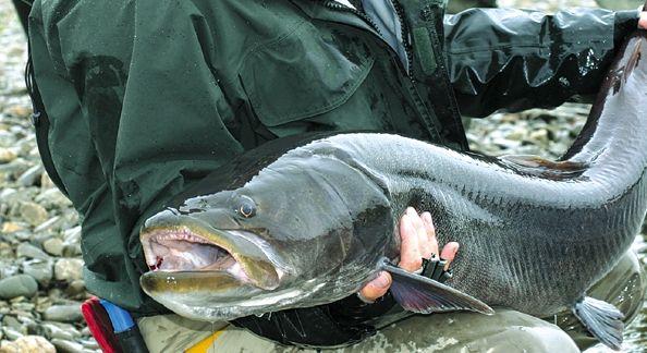 Рыболов с тайменем