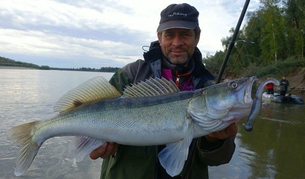 Судак в руках рыбака