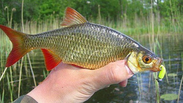 Рыба красноперка