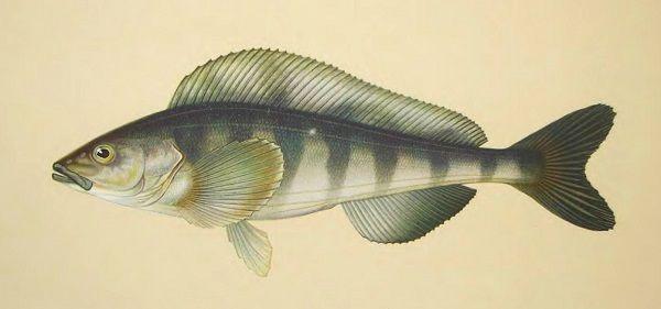 Рыба терпуг