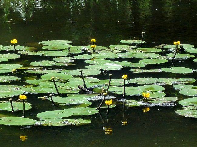 Кувшинки на воде