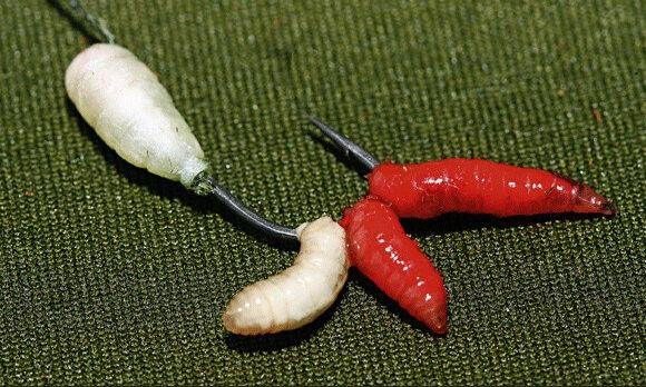 компоновка личинок мясной мухи