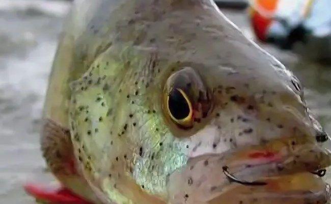 Точки на голове рыбы