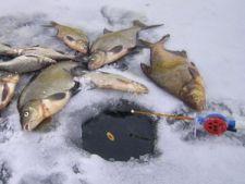 улов на удочку с отводным поводком