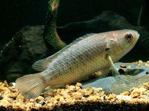 рыба анабас