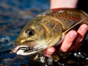 Ленок в руке рыболова