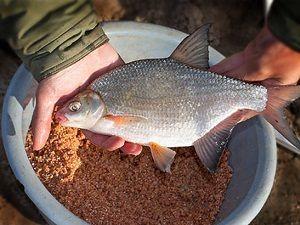 Густера в руках рыболова