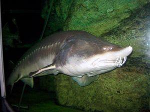 Рыба калуга