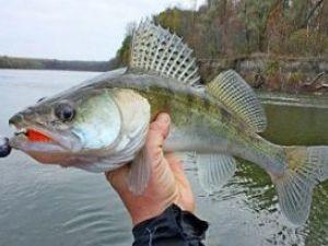 Судак в руке рыболова