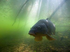 Сазан под водой
