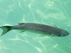 Пеленгас под водой