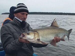 Жерех в руках рыболова
