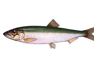 Рыба салака