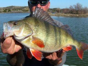 Рыболов с трофейным окунем