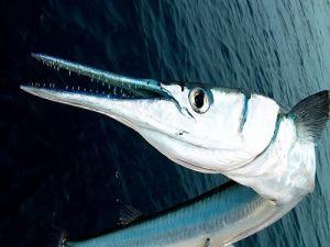 Рыба сарган