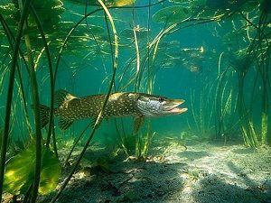 Щука под водой