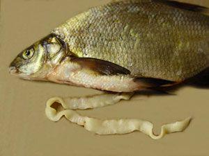 солитер в рыбе
