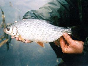Сорога в руках рыболова