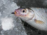 Рыбалка на мормышку летом все способы