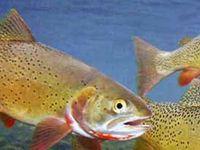 Рыба Форель, описание, статус вида, места обитания
