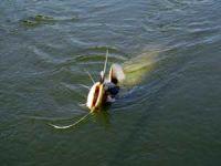 Как ловить сома .Рыбалка на квок все тонкости