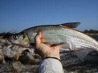 Рыба муксун описание